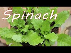 (2) Growing Spinach (Palak) in a Container - Terrace Garden - YouTube