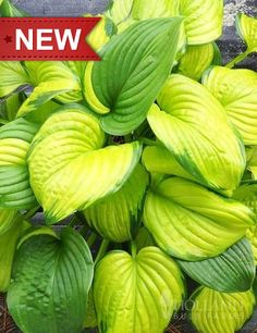 """'Stained Glass' hosta, features glistening golden to green variegated leaves that sparkle in the sun. Yes, we said sparkle in the sun, as this hosta is sun tolerant! It is great for areas of partial sun, if planted in full sun additional moisture may be required for best results. Other great features of Stained Glass hosta are the sweetly fragrant large 3"""" diameter white blooms in late Summer and it's high slug resistance. Zones 3 - 9"""