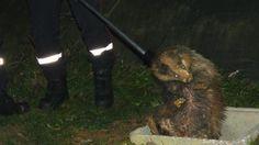 Les pompiers ont utilisé une perche d'1,70m, munie d'un lasso pour sortir le blaireau de son cachot de béton.