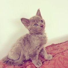 Glastocats Ashestoasha pedigree Laperm cat