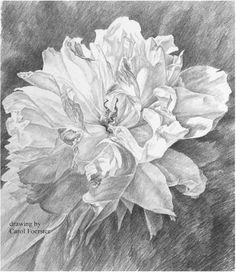 Drawing by Carol Herren Foerster.