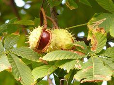 Kastanie, Kastanienbaum, Baum, Ast, Blätter