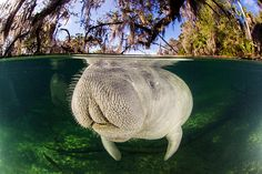 Florida's Secret Manatee Retreat