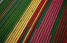 Tulip Fields near Amsterdam, Netherlands