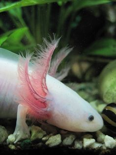 The Axolotl - An endangered  freshwater Amphibian that has the ability to grow any body part. Of course scientists are interested in this.