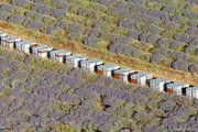 Organic lavender is appreciated by bees for product a very good honey