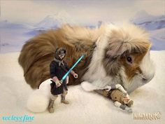 Guinea Pig Confidential- They Love Star Wars
