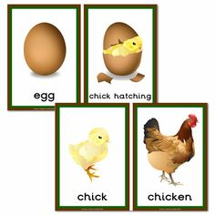 Farm Animals Science: Chicken Life Cycle Cards | Chicken life ...