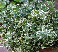 Euonymus fortunei is a versatile, low-maintenance, evergreen shrub with a multitude of uses and a tolerance of poor soils, coastal condition...