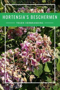 Hydrangea, Gardening Tips, Cleaning Hacks, Outdoor Living, Bloom, Flowers, Nature, Gardens, Hydrangeas