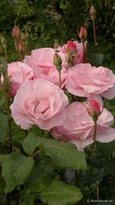 Beautiful Flowers Images, Beautiful Flower Arrangements, Amazing Flowers, Beautiful Roses, Beautiful Gardens, Queen Elizabeth Rose, Rose Queen, Rose Images, Flower Images