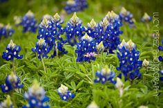 Texas Bluebonnets in Austin, TX from facebook user: Lucy Perez