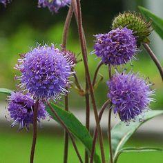 ÄNGSVÄDD i gruppen Krydd- och Medicinalväxter / Medicinalväxt hos Impecta Fröhandel (7855) Garden Plants, Dandelion, Flowers, Gardening, Plants, Dandelions, Florals, Lawn And Garden, Flower
