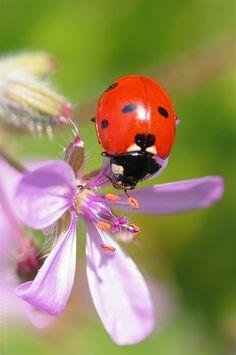 Romance Catarina/Flor Insects Ladybug, Poisonous ladybugs are yellow ladybugs poisonous - Yellow Things Lady Bug, Beautiful Bugs, Beautiful Flowers, Photo Coccinelle, Beautiful Creatures, Animals Beautiful, Yellow Ladybug, Baby Ladybug, A Bug's Life