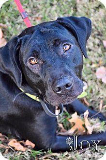 ★4•7•16 SL★Pictures of Joy a Labrador Retriever Mix for adoption in DFW, TX who needs a loving home.