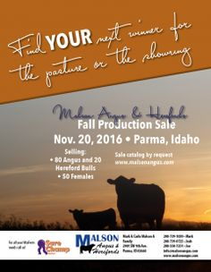 Angus cattle for sale, Hereford cattle for sale, Sure Champ, Idaho, Malson Angus & Herefords