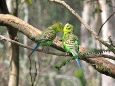 Budgerigars, in the wild - Cleland Wildlife Park South Australia Australian Parrots, Wildlife Park, Budgies, Animals Of The World, T Rex, Marine Life, Beautiful Birds, Pet Birds, Habitats