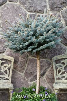 Dwarf Globe Blue Spruce  Globe-shaped evergreen shrub is dwarf, flat-topped and densely branched. Bright blue needles hold their color all year but are brighter in summer. A unique accent for that special spot.  Light needs: Full SunLight needs: Partial SunWater needs: ModerateSpecial Feature: Deer Resistant  Botanical Pronunciation: 	PY-see-a PUN-jenz  Key feature: 	Deer Resistant  Plant type: 	Conifer  Deciduous/evergreen: 	Evergreen  Cold hardiness zones: 	2 - 8