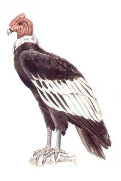 El dibujo del condor de los andes - Imagui