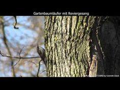 Gartenbaumläufer mit Gesang - Short-toed treecreeper singing (1080p HD) - YouTube