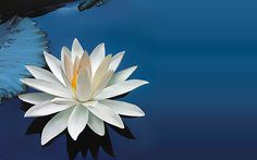 Лотос, священный, цветок