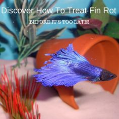 What Is Betta Fin Rot? It's a disease that affects many betta fish. Find out how…