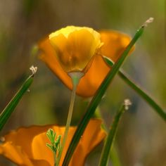 Wind Wolves:  Afternoon Poppy Light by Wayne Wong on Capture Kern County // I was alone in the poppy field, and a great immersive warmth surrounded the poppies, and suddenly, everything was totally peaceful!