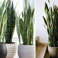Najlepsza roślina do sypialni. Świetnie dotlenia i oczyszcza powietrze