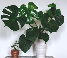 Indoor Evergreen House Plant Swiss Cheese Monstera Plant for Home, Office & Conservatory with Large, Glossy Exotic Leaves, 1 x Pot by Thompson & Morgan Perennial Flowering Plants, Foliage Plants, Potted Plants, Indoor Plants, Indoor Flowers, Green Plants, Planting Succulents, Planting Flowers, Evergreen House