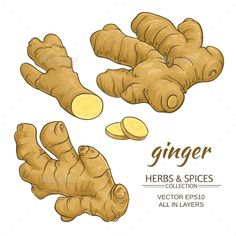 Ginger Roots Vector Set by cuttlefish84 | GraphicRiver