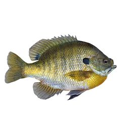 A colorful Bluegill Sunfish (Lepomis macrochirus) on a white background. Bass Fishing, Fish Paintings, Stock Photos, Pets, Airbrush, Colorful, Google Search, Air Brush Machine, Fish Drawings