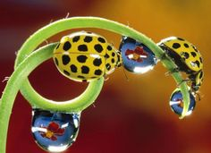 Yellow, black spotted beetles, on a tendril.