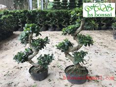 ginseng ficus 50-60cm Ficus Ginseng Bonsai, Garden, Plants, Garten, Lawn And Garden, Gardens, Plant, Gardening, Outdoor