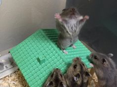 Hamster preaching to his people