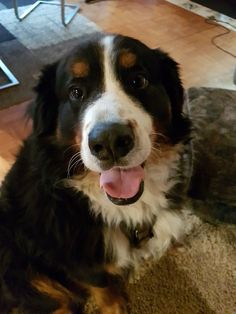 #BerneseMountainDog