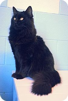 Prattville, AL - Domestic Longhair. Meet Tallulah 21813, a cat for adoption. http://www.adoptapet.com/pet/12274017-prattville-alabama-cat