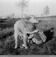 Elin Ragnhild Prost, 4 years old, milks a young goat. Daughter of Britta and Lars Prost. Vittangi forest 'lapp' sillage, Torne, Karesuando, Vikkusjärvi, Sweden, 1948. This little girl kills me, she's so sweet... <3