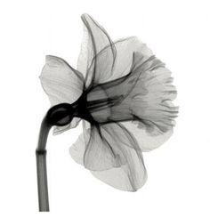 """""""Daffodil"""" av Steven N. Meyers  http://www.easyart.se/tavlor/Steven-N.-Meyers/Daffodil-56263.html"""