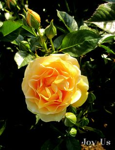 """""""Julia Child"""" is a gorgeous floribunda rose with prolific blooms the color of butter (of course!). It was an AARS winner in 2006. Love this one!"""