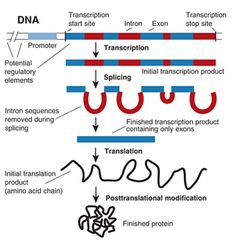 Gene structure and gene expression in higher organisms. General Biology, Biology Major, Biology Teacher, Cell Biology, Science Biology, Teaching Biology, Medical Science, Science Education, Life Science