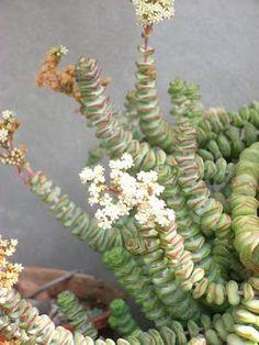 Mis cactus y crasas: Crassula marnieriana
