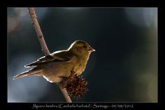 little chilean bird
