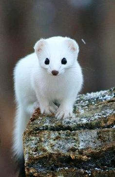 A White Mongoose! Makes me think of snow.