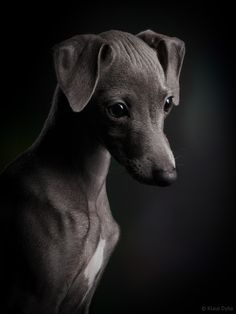 Photo Italian greyhound dog Ceylin by Klaus Dyba on 500px