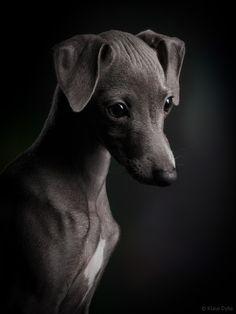 Photo Italian greyhound dog Ceylin by Klaus Dyba on 500px