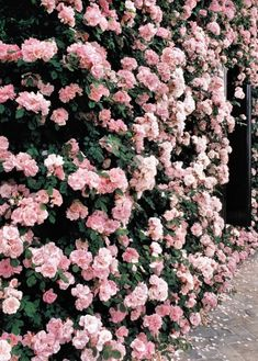 wall of pink flowers