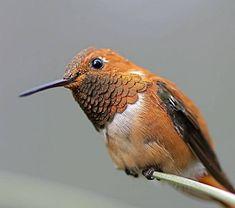 kaprazatosan-szines-kolibrik-010