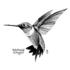 Ruby Throated Hummingbird Black and White Drawing.jpg
