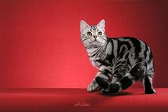 american shorthair cat - Yahoo Image Search Results