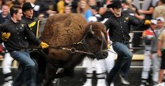"University of Colorado Buffaloes football. Running with ""Ralphie"" the Buffalo at Folsom Field."